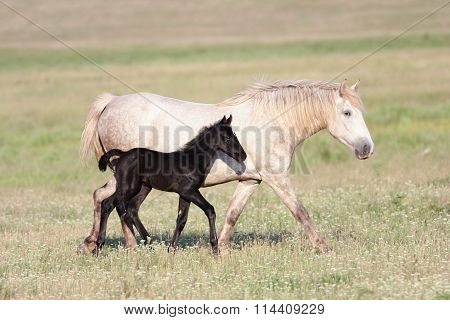 Two Horses, Black Foal And White Mother
