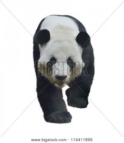 Digital Painting of Giant Panda Bear isolated on white