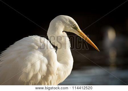 White heron/Ardea Alba