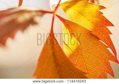 Macro Image Of Yellow Autumn Leaves