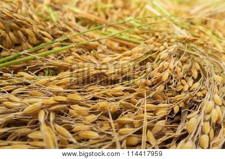 Paddy rice seed on a paddy background