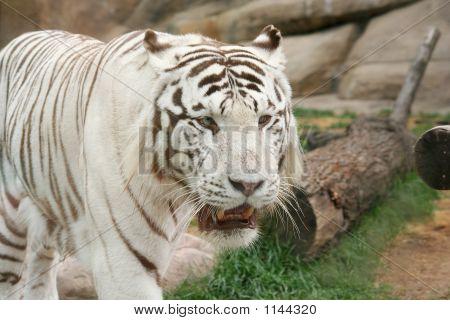 seltene weiß tiger