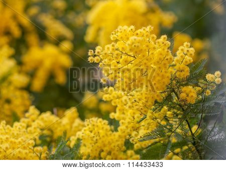 acacia branch with yellow flowers closeup