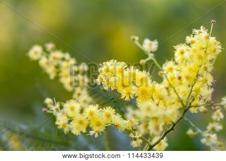 acacia yellow flowers closeup