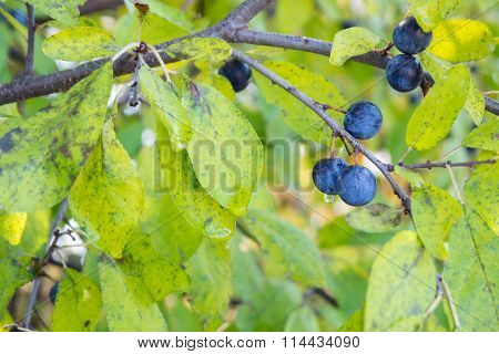 Photo Prunus Spinosa Bush
