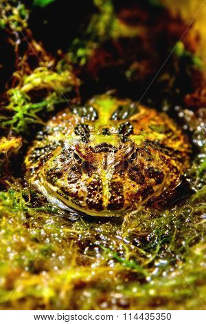 Exotic Amphibians Brazilian Horned Toad