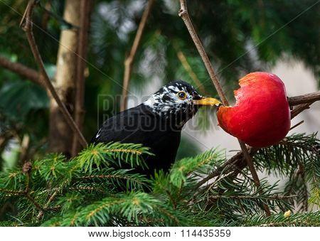 Blackbird (Turdus merula) partial albino