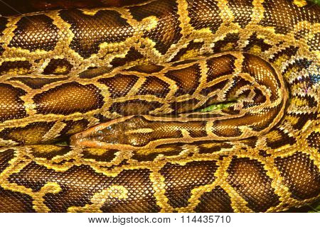 Image Animal Reptile Spotted A Boa