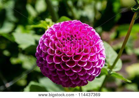 Brilliant Round Bloom