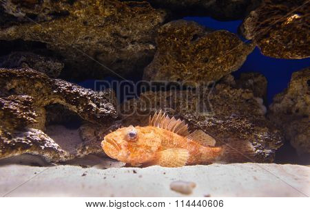 Grouper (Cephalopholis sonnerati) at the bottom of aquarium