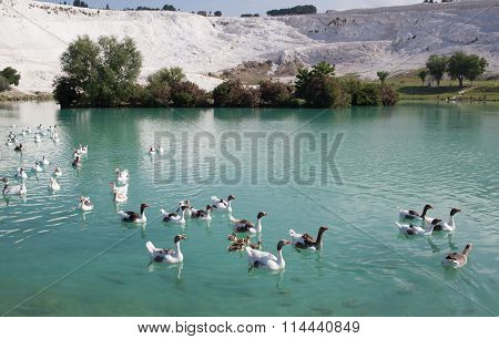 Geese with goslings on the lake calcified limestone terraces on background Pamukkale Turkey