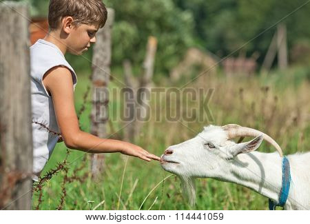 A boy reaches out to pet a white goat
