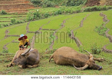 small boy with two huge buffalos