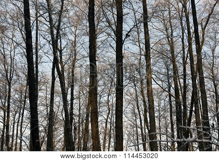 Winter Forest. Trees And Sky.