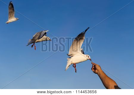 Gulls Eating Food From Hand