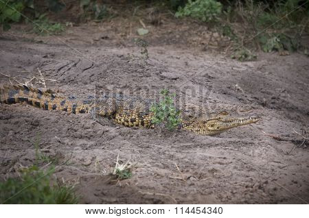 African Crocodile On The Shore
