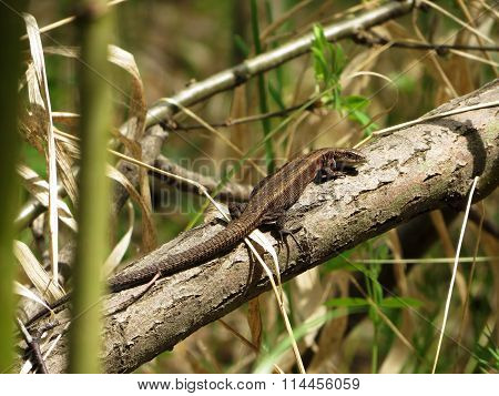 Forest Lizard Basking