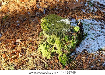 Tree Stump In Winter Covered With Moss