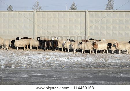 Flock Of Sheep Presses Close To The Concrete Fence