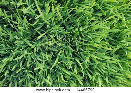 Lawn Of Young Green Grass
