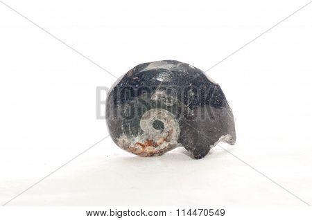 Goniatite Cephalopod Fossil