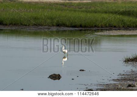 Snowy Egret Wading In Lagoon