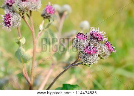 Great Burdock (arctium Lappa) Flower