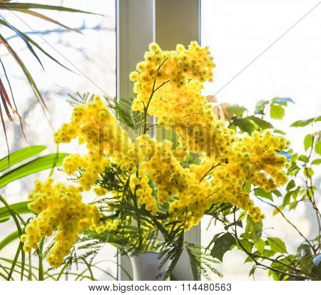 Acacia dealbata (Mimosa) on the window background