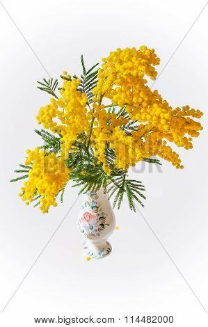 Acacia dealbata or acacia whited (Mimosa) in vase
