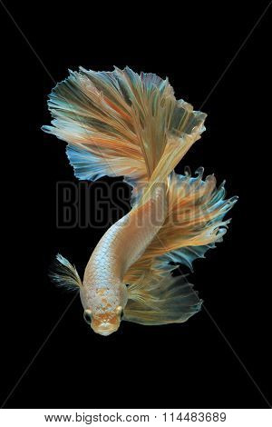 Gold Siamese Fighting Fish Isolated On Black Background