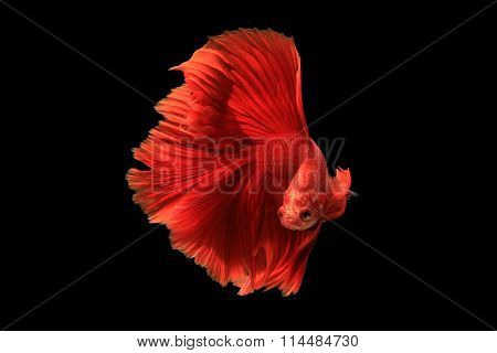 Red Siamese Fighting Fish Isolated On Black Background