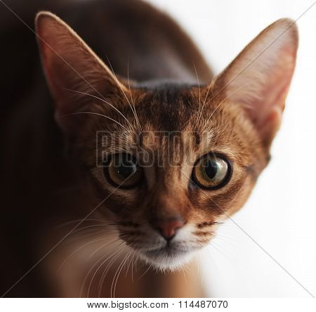 Abyssinian Cat Staring At The Camera