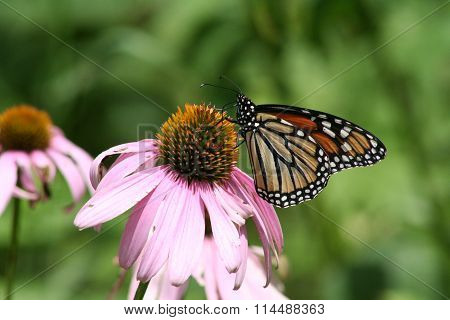 Cone Flower with Monarch Butterfly