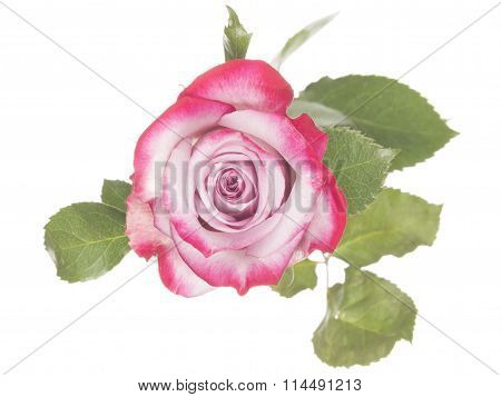 Delicate Pink Rose On A White Background