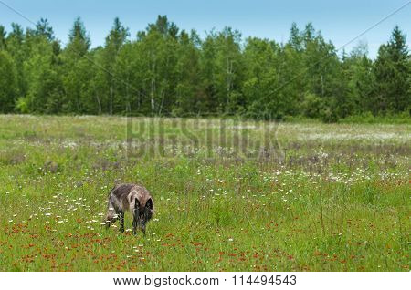 Black Grey Wolf (canis Lupus) Stands In Field Environment