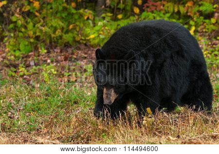 Black Bear (ursus Americanus) Walks Head Down