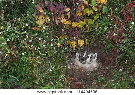 Snarling North American Badger (taxidea Taxus) In Den
