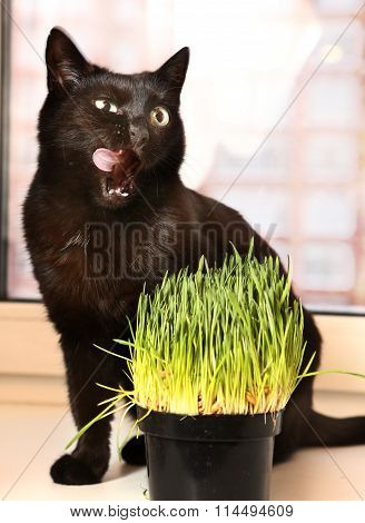 Cat Close Up Photo With Green Grass Sprouts