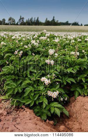 Potato plants in flower on a farm in rural Prince Edward Island, Canada.