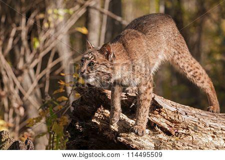 Bobcat (lynx Rufus) Prepares To Pounce