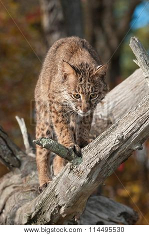 Bobcat (lynx Rufus) Looks Down From Branch