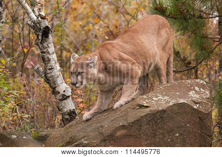 Adult Male Cougar (puma Concolor) Slinks Down Rock