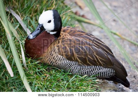 White-faced Whistling Duck, Dendrocygna viduata