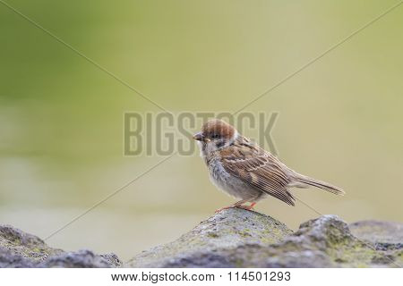 A Little Common Bird - Sparrow Standing On A Rock