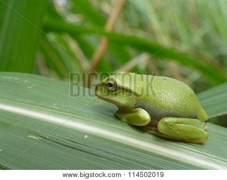 Little Cute Taipei Tree Frog