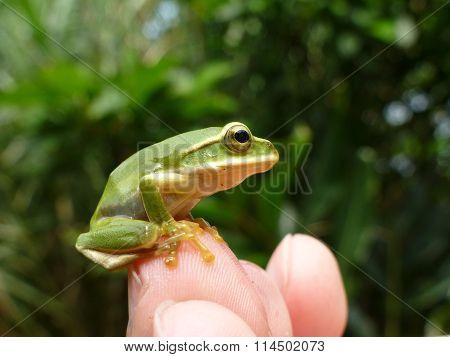 Little Cute Emerald Tree Frog Sit On Finger