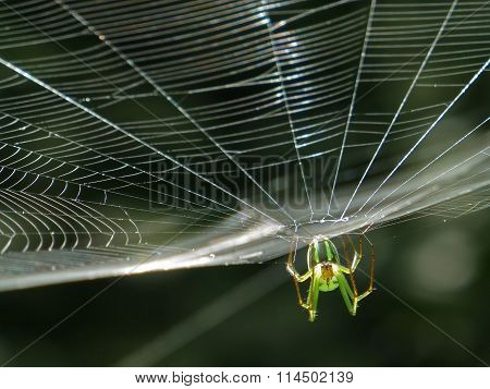 Orchard Orbweaver Spider On The Web