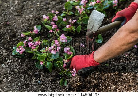 Gardeners Hand With Glovers Planting Flowers