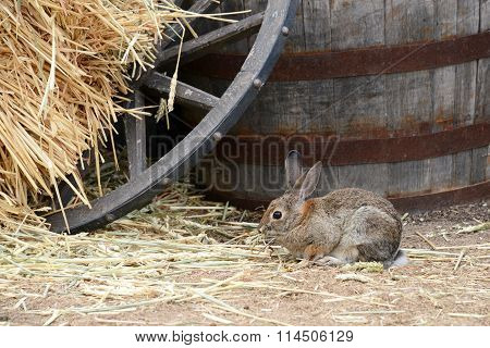 Rabbit eating hay next to wooden barrow and wagon wheel