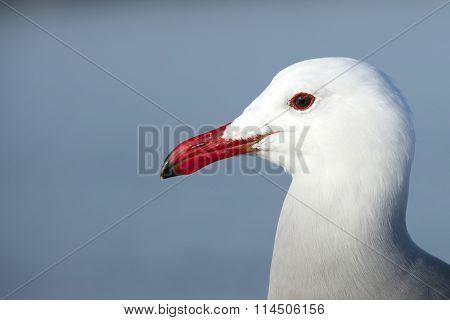 Heermann's gull close up on head